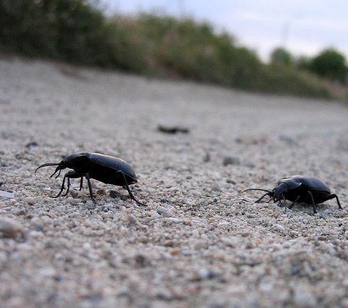 Skalbaggar i sanden
