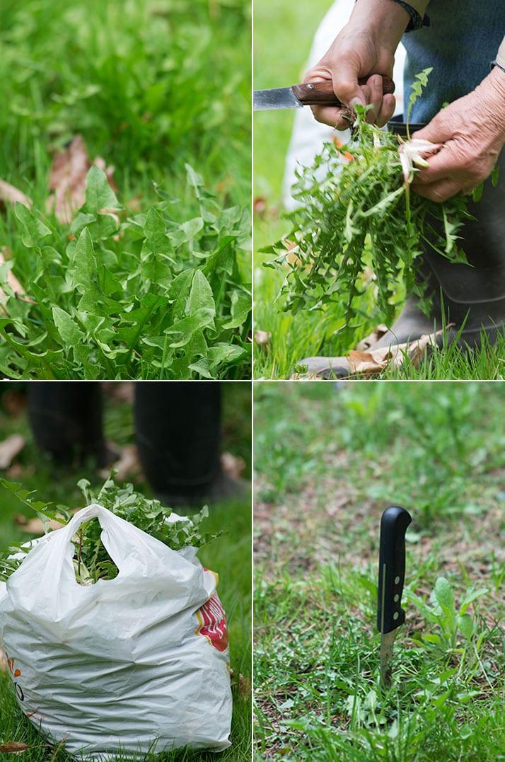 picking ciccoria or dandelion greens