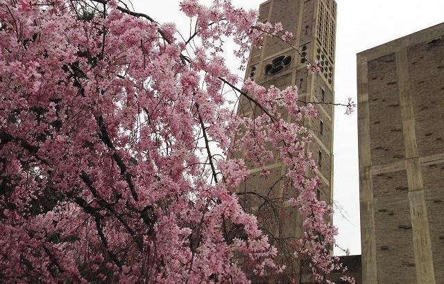 世界平和記念聖堂(カトリック幟町教会)の枝垂桜を見て来ました