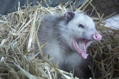 opossum-309264_960_720
