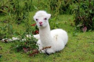 alpaca-1531980__340