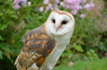 barn-owl-1208035_960_720