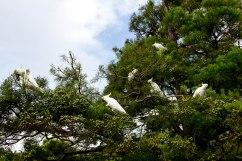 Royal Botanic Garden Cockatoos