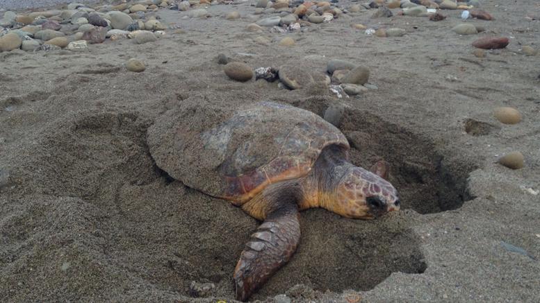 Avvistata una tartaruga caretta caretta sullaspiaggiadi San Vito Lo Capo