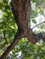 L'albero delle streghe