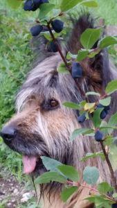 Il nostro Buck a guardia del mirtillo siberiano
