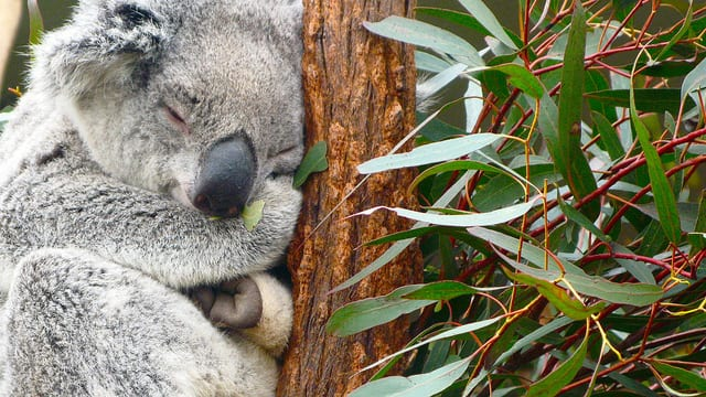 Koala che dorme (foto di rumpleteaser)