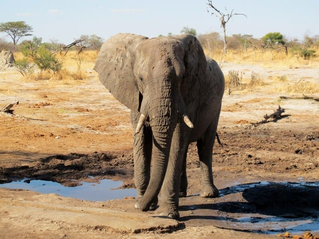 Elefante - Botswana