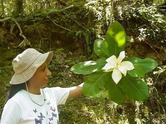 Magnolia dealberata - Sierra Gorda, Messico