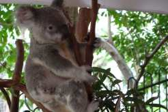 Koala, famosi in tutto il mondo