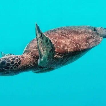 Tartaruga nella Barriera Corallina