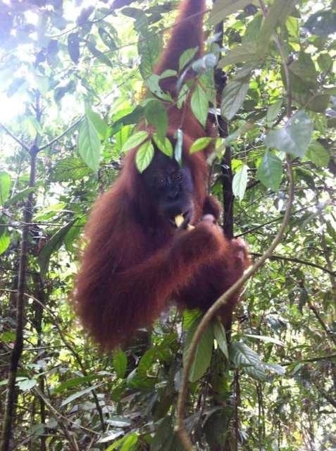 Orango - Borneo, Indonesia