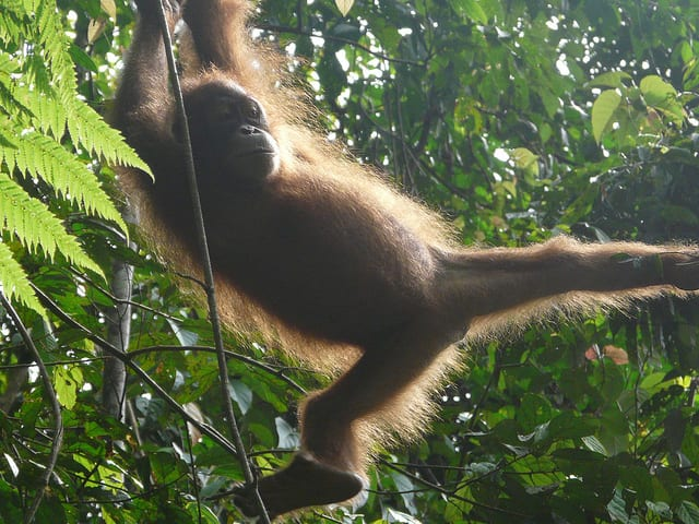 Orango, Gunung Leuser National Park - Indonesia