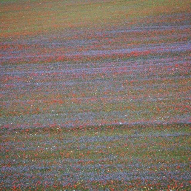 La fioritura della Piana di Castelluccio - Castelluccio di Norcia