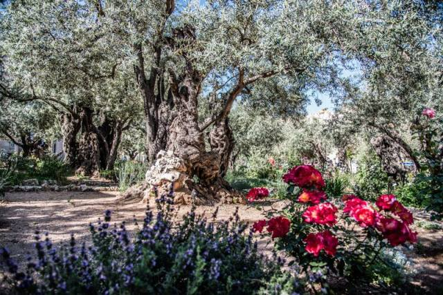 Orto dei Getsemani - Gerusalemme, Israele