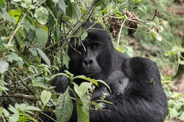Gorilla - Uganda