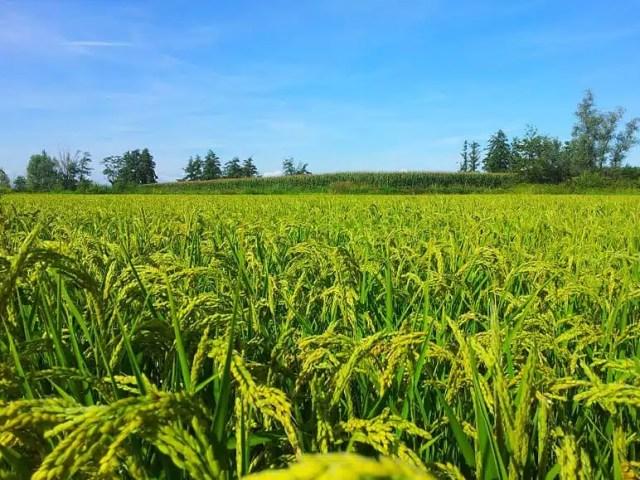 Risaia vercellese – Il riso di Biella e Vercelli