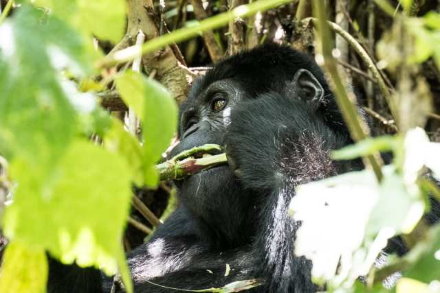 Gorilla, Bwindi Forest National Park - Uganda