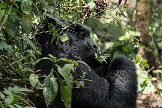 Bwindi Forest National Park - Gorilla - Uganda