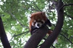 Panda rosso - Cina