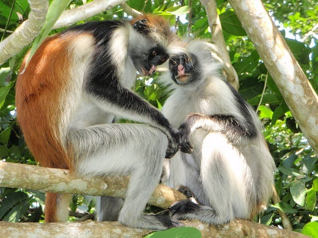 Foresta di Jozani - Zanzibar, Tanzania