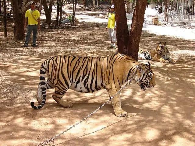 Maltrattamento animali - Tiger Temple, Tailandia