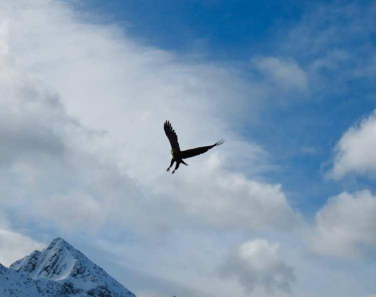 Norvegia artica, Lofoten, Aquila di mare, Norvegia