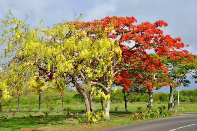 alberi a mauritius