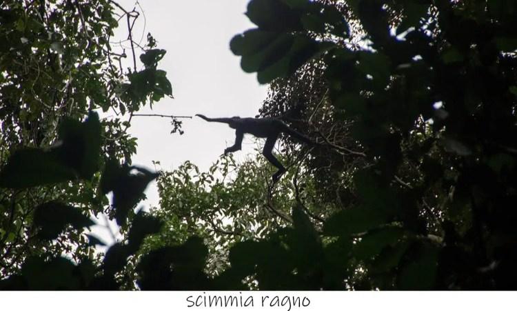 scimmia al Sachavaca Camp, Parque del Manu, Perù