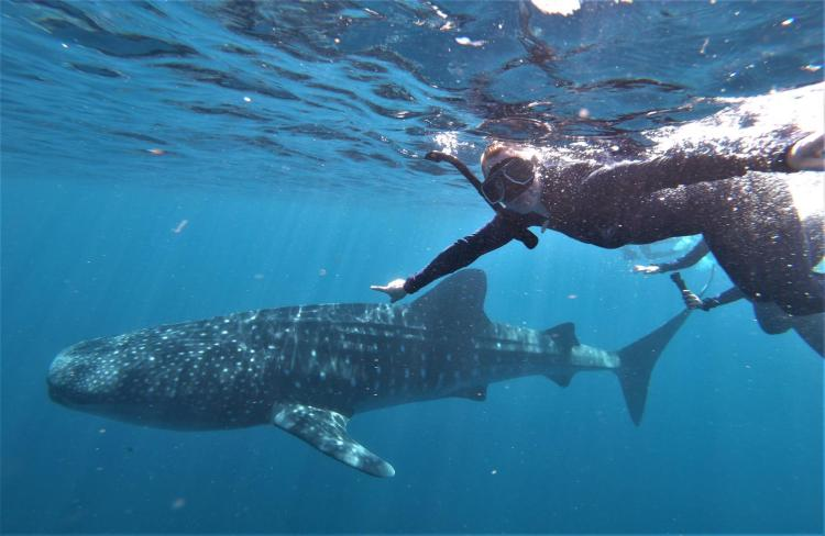 squali balena a Exmouth