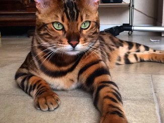 Γάτα με φανταστικό τρίχωμα μοιάζει με… τίγρη!