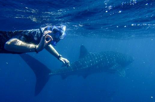 requin baleine australie ningaloo reef