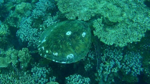 tortue marine australie exmouth