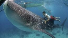 Voir requins baleines Philippines Oslob