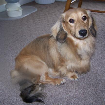 Winnie The English Cream Long Haired Miniature Dachshund