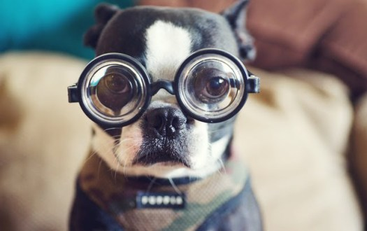boston_terrier_glasses1