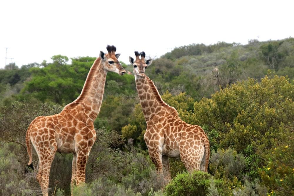 08Nov18Giraffe7