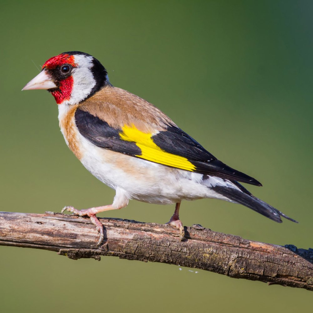 11Jan21Goldfinch