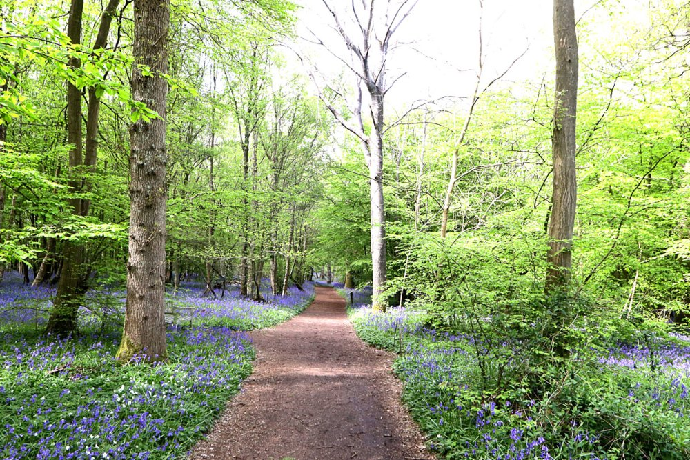 12May21Bluebell2