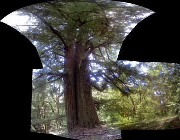 pan Old Growth DF Massive!