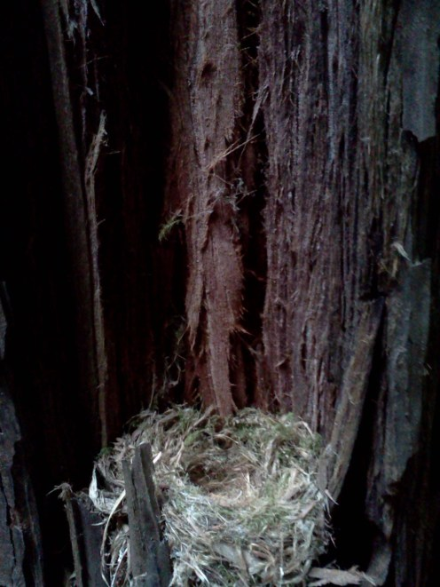 cute nest in redwood stand
