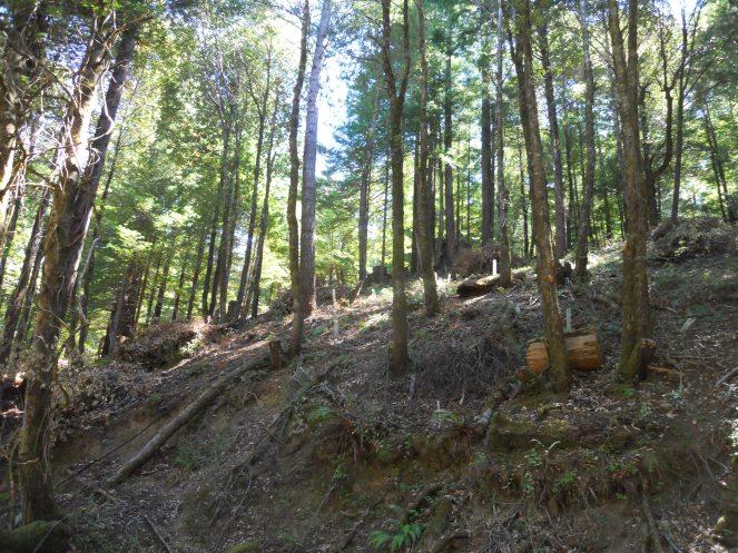Pt.11.flat hillside from 3 old camp redwoods (2)