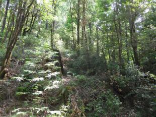 Pt.12.flat hillside from 3 old camp redwoods.2