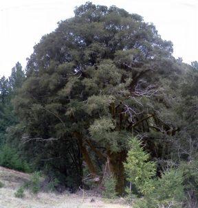 Old growth live oak