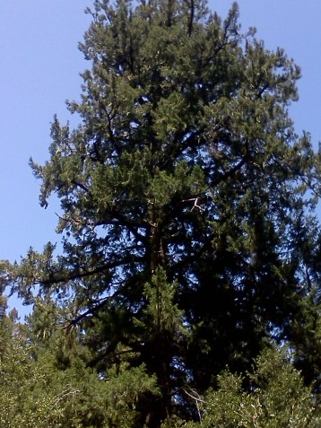 A typical open grown Douglas-fir. This tree is approximately 100 years old has the appearance of giant Christmas tree.