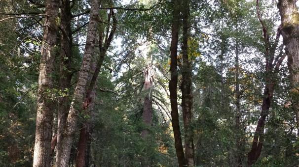Mature Douglas-fir/tanoak forests located above Willow Creek, CA.