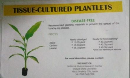 Paghahanda sa Pagtanim ng Tissue Cultured Abaca Plantlets