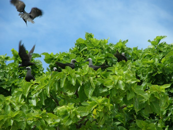 Black Noddy colony Lady Musgrave