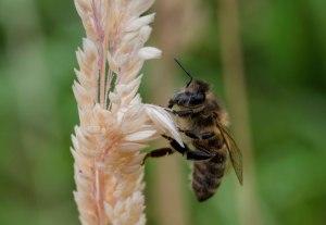 Bee searching for nectar. Image: CC, Paul van de Velde