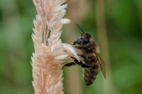 Bee searching for nectar. Image: CC, Paul van de Velde